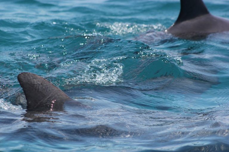 dolphins_in_kisite